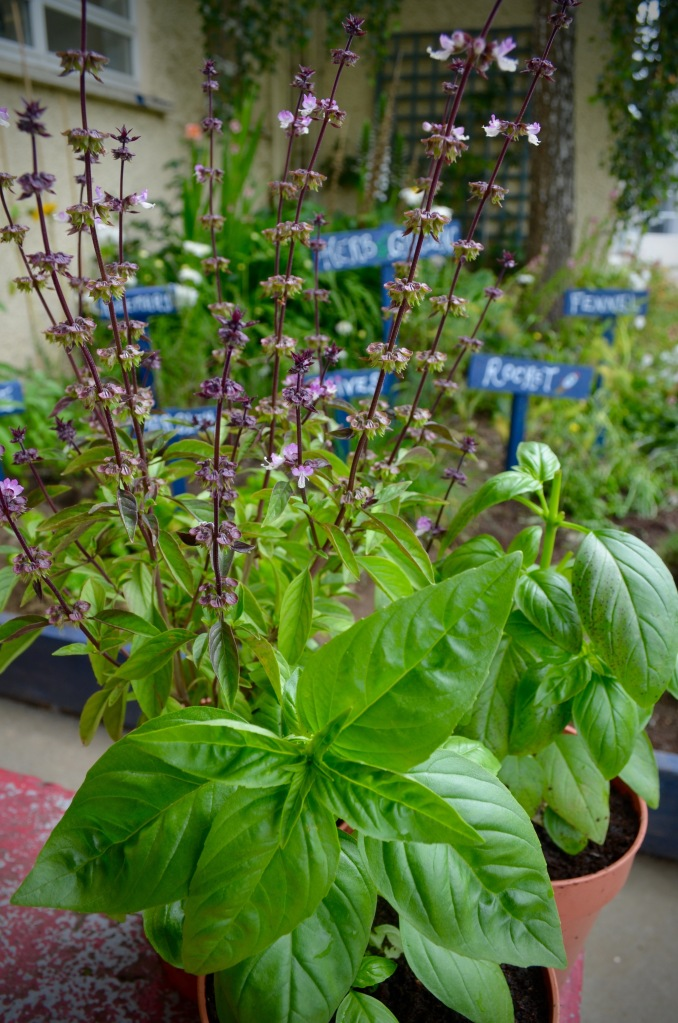 Check out this yummy basil and thai basil plant that we have growing in our poly tunnel. We didn't plant them outside because it would be too cold for them.