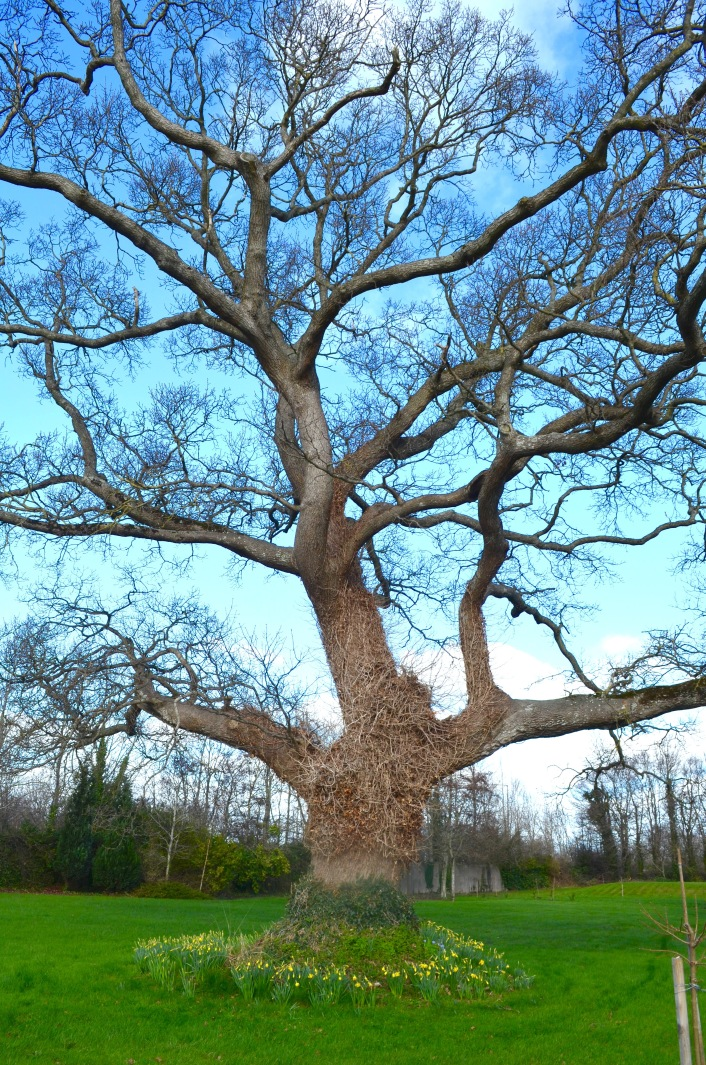 Our lovely oak tree.