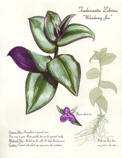 wandering-jew-tradescantia-zebrina-brandy-woods